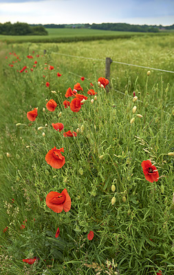 Buy stock photo Poppies blooming in the countryside - Denmark