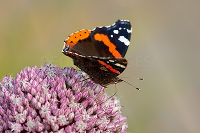 The Red Admiral Butterfly - Vanessa atalanta
