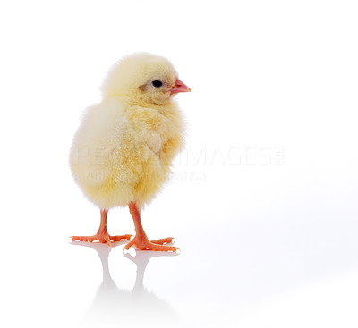 Buy stock photo A little chicken isolated on white background