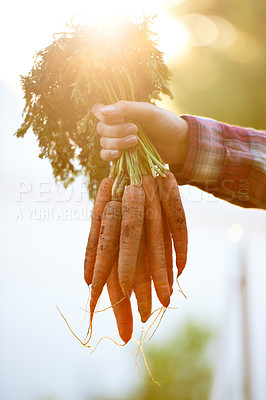 Buy stock photo Cropped shot of a woman holding a bunch of freshly picked carrots