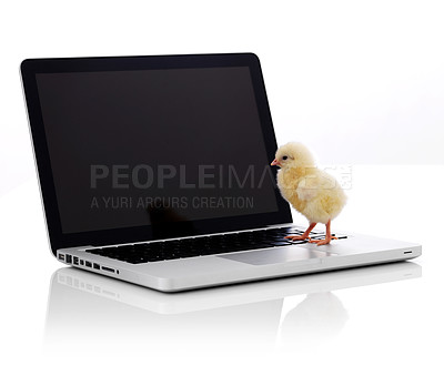Buy stock photo Little newborn chicken on laptop keyboard over white background