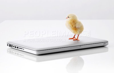 Buy stock photo Tiny chick and laptop computer isolated on white background