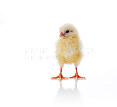 Buy stock photo Lovely little chicken isolated over white background