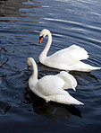 Swans at a quiet lake