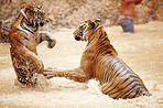 Two tigers playfully fighting in the water