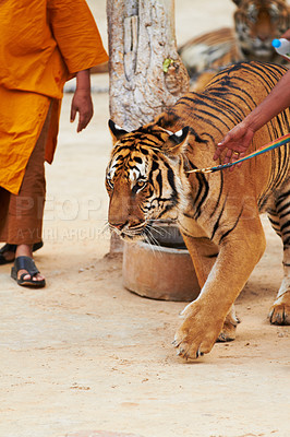 Buy stock photo Monk and trainer leading tiger by a leash at the Tiger Temple