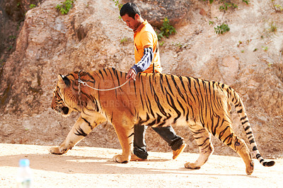 Buy stock photo Trainer leading an Indochinese tiger on a leash