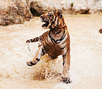 Playful tiger splashing around