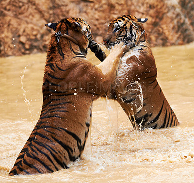 Buy stock photo Two tigers fighting on their hind legs in a dam