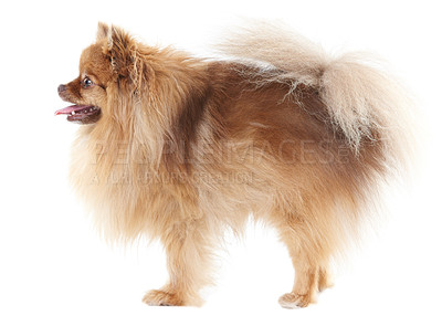 Buy stock photo CProfile of a cute pomeranian wagging its tail - isolated on white