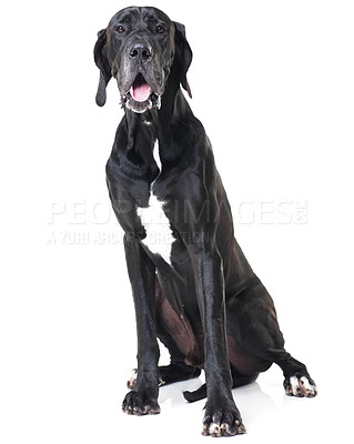 Buy stock photo Portrait of a great dane sitting isolated on white