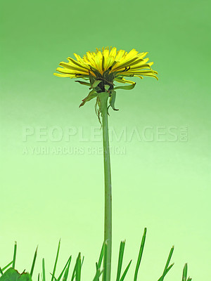 Buy stock photo Dandelion - a warm summer morning