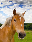 A photo of brown horse in nature