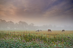 Horses grazing in a peaceful Danish meadow