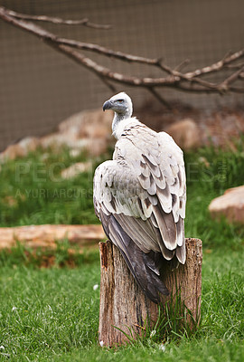 Buy stock photo A vulture sitting on a branch