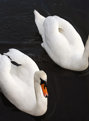 Buy stock photo Swans swimming at a quiet lake