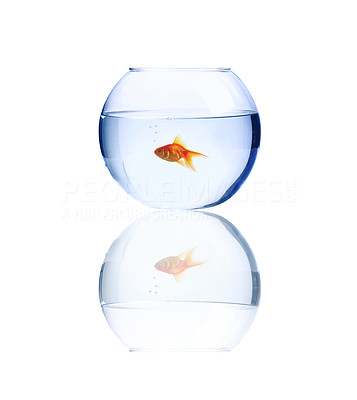 Buy stock photo High resolution image of a goldfish swimming alone in a bowl.