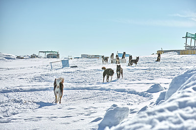 Buy stock photo Sled dog - 7000 sled dogs in the city of  Ilulissat, at city with a population of 4500 people, Greenland, Denmark.  The month of May
