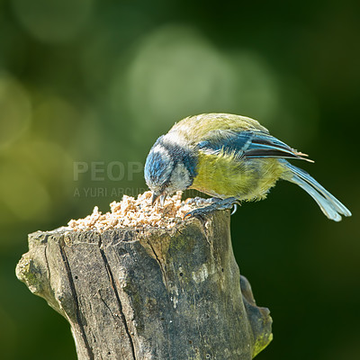Buy stock photo The Eurasian blue tit is a small passerine bird in the tit family Paridae. The bird is easily recognisable by its blue and yellow plumage.
