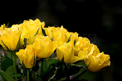 Buy stock photo A photo of beautiful yellow roses