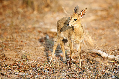 Buy stock photo Full length shot of a young Nyala on the plains of Africa