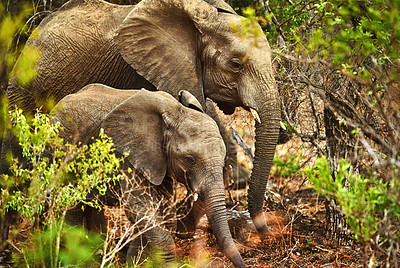 Buy stock photo Cropped shot of na mother elephant and her young calf in their natural habitat