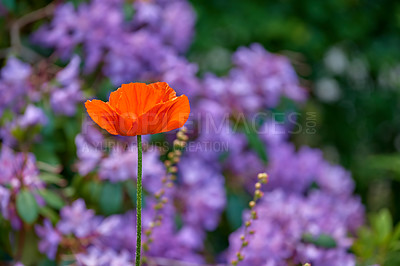 Buy stock photo Beautiful poppies in early summertime