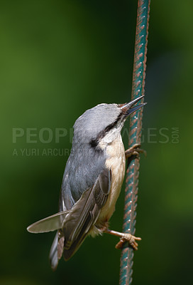 Buy stock photo The Nuthatch
