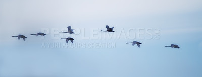Buy stock photo Swans flying in close formation - sky as background