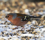 Chaffinch. Beautiful garden bird in Europe, incl. Denmark