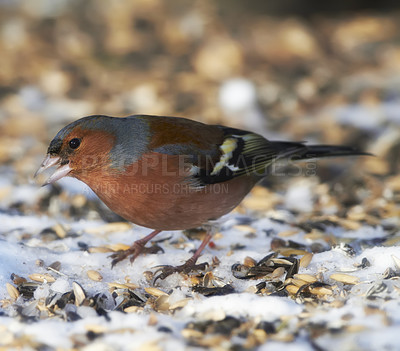 Buy stock photo Chaffinch. Beautiful garden bird in Europe, incl. Denmark