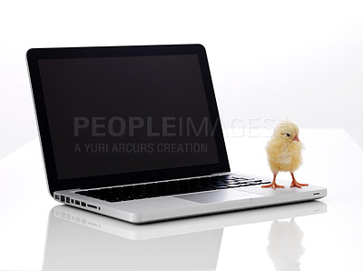 Buy stock photo Image of newborn little chicken and laptop on white background
