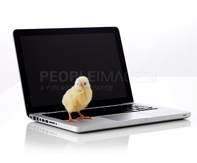Buy stock photo Little chick on laptop computer isolated over white background