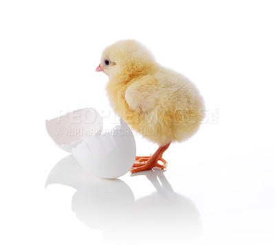 Buy stock photo Cute little yellow chick with egg shell isolated on white background