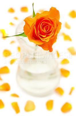 Buy stock photo Isolated orange rose in a vase on a white background with petals scattered around