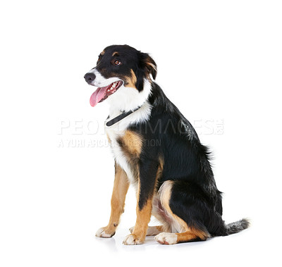 Buy stock photo Pedigree border collie sits calmly - Isolated on white