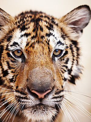 Buy stock photo Closeup of a beautiful Indochinese tiger