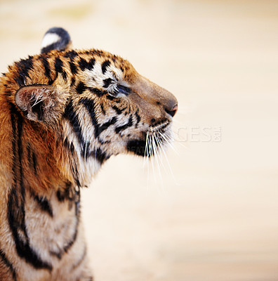 Buy stock photo Side view of an adult Indochinese tiger