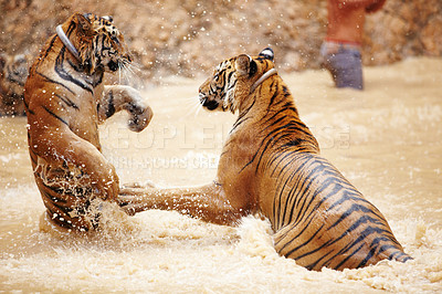 Buy stock photo Two tigers playfully fighting in the water at the Tiger Temple