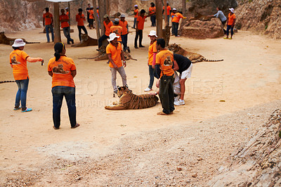 Buy stock photo Trainers surrounding a tiger at the Tiger Temple in Thailand