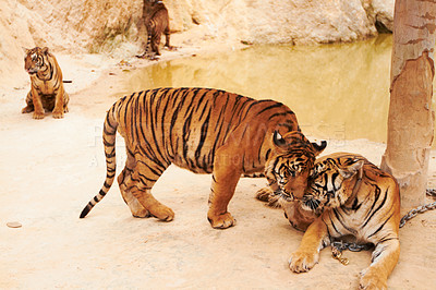 Buy stock photo Two tigers affectionately rubbing their heads together