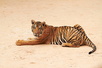 Buy stock photo Resting tiger gazes lazily at the camera