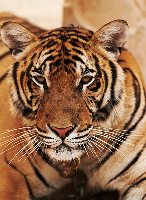 Buy stock photo Majestic tiger gazes at the camera