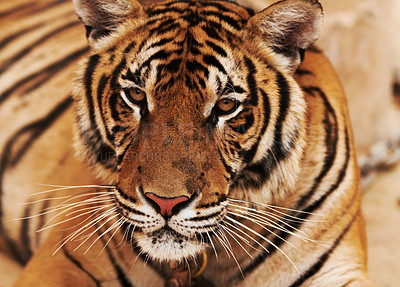 Buy stock photo Closeup of a majestic Indochinese tiger looking at the camera