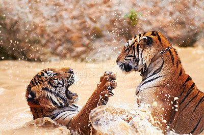 Buy stock photo Tigers playfully fighting in the water