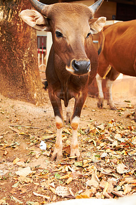 Buy stock photo Frontal view of a placid Thai cow