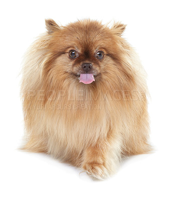 Buy stock photo Frontal view of a cute pomeranian dog looking at the camera