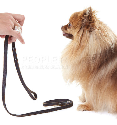 Buy stock photo Owner holding out a leash to a cute pomeranian dog
