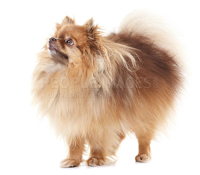 Buy stock photo Full-length view of a healthy pomeranian looking out of the frame - copyspace
