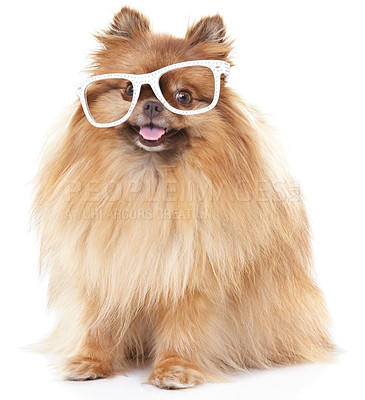 Buy stock photo Comical pomeranian wearing huge white sunglasses